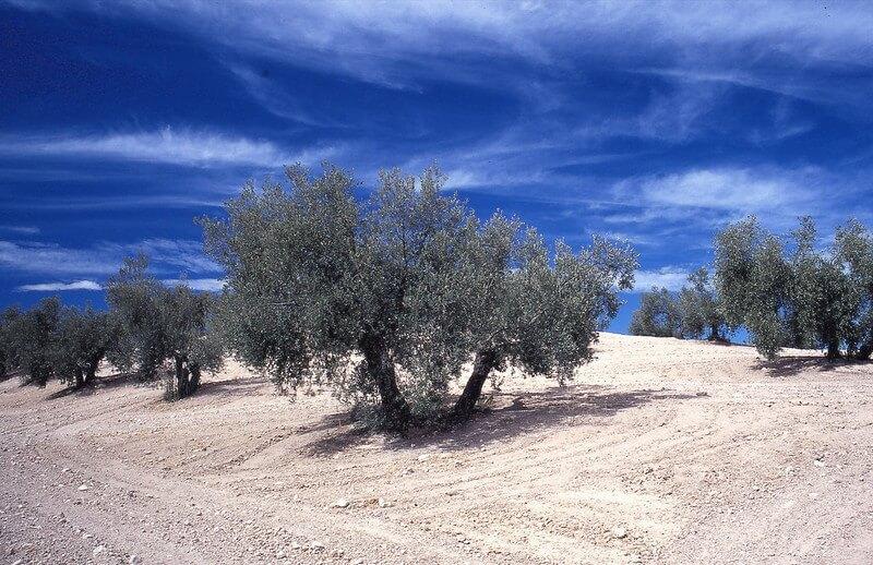plantação de oliveiras